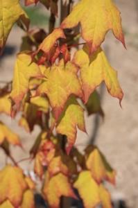 Acer capp. Aureum