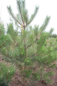 Pinus nigra Austriaca 1