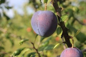 Prunus dom. Reine Cl. d'Althan 1