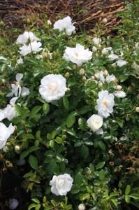 Rosa Innocencia 2