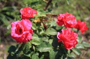 Rosa Rotillia 2