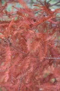 Taxodium distichum 2(automne)